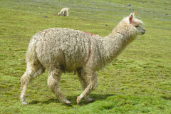 Lama. Furry llama on green meadow near the Andes snow capped peak Stock Photo