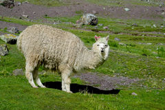 Lama. Furry llama on green meadow near the Andes snow capped peak Stock Photos