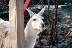 Lama genus. Lama is a genus containing two South American camelids, the wild guanaco and the domesticated llama. This genus is closely allied to the wild vicu royalty free stock image