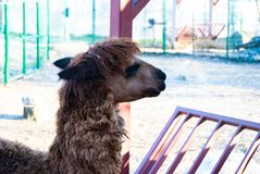 Lama genus. Lama is a genus containing two South American camelids, the wild guanaco and the domesticated llama. This genus is closely allied to the wild vicu royalty free stock images