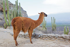Lama glama Royalty Free Stock Images