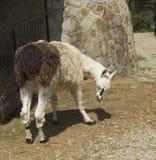 Lama Glama Stock Image