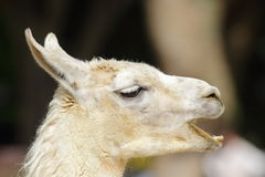 Lama Royalty Free Stock Image