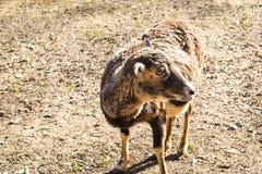 Lama glama del lama di Brown, mammifero che vive nelle Ande sudamericane fotografia stock libera da diritti
