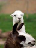 Lama (glama della lama) Immagini Stock