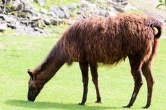 Lama glama grazes in the pasture on a spring sunny day. Lama guanicoe of camel family. Lama glama grazes in the pasture on spring sunny day. Lama guanicoe of Royalty Free Stock Image