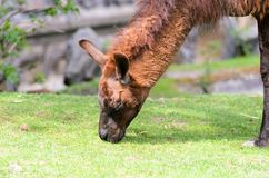 Lama glama grazes in the pasture on a spring sunny day. Lama guanicoe of camel family. Lama glama grazes in the pasture on spring sunny day. Lama guanicoe of Royalty Free Stock Photo