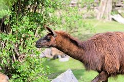 Lama glama grazes in the pasture on a spring sunny day. Lama guanicoe of camel family. Lama glama grazes in the pasture on spring sunny day. Lama guanicoe of Royalty Free Stock Photography