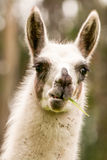 Lama Glama Head Shot Fotografia Stock Libera da Diritti