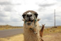 Lama Lama glama i Peru arkivbild