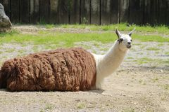 Lama glama Royalty Free Stock Photos