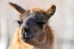 Lama glama looking at the camera Stock Images