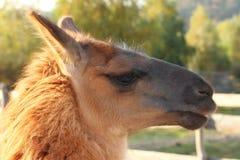 Lama glama portrait. Spitting lama ( lama glama ) portrait, image taken at a wild animal ranch Royalty Free Stock Photography