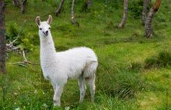 Lama Glama small Royalty Free Stock Photography