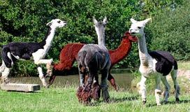 Lama glama. Young Llamas on the grass Royalty Free Stock Photos