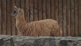 Lama grande no jardim zoológico filme