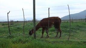 Llama stock video
