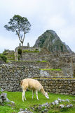 Lama grazing at Machu Picchu- Incas ruins in Andes,Cuzco region Stock Photos