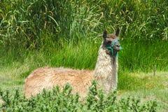 Lama graziosa che si trova sull'erba Fotografia Stock
