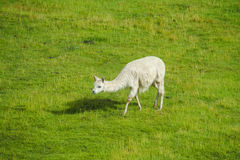 Lama at green grass. Lama in the Andes beautiful altiplano landscape near mountain Royalty Free Stock Photo
