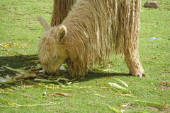Lama at green grass. Lama in the Andes beautiful altiplano landscape near mountain Royalty Free Stock Image