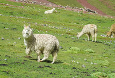 Lama on green grass. Lama in the Andes beautiful altiplano landscape near mountain Royalty Free Stock Photos