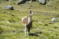 Lama on green grass. Lama in the Andes beautiful altiplano landscape near mountain Royalty Free Stock Photography
