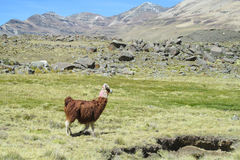 Lama on green grass. Lama in the Andes beautiful altiplano landscape near mountain Stock Images