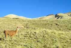 Lama on green grass Stock Images