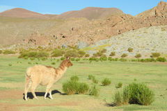 Lama on green grass. Lama in the Andes beautiful altiplano landscape near mountain Stock Image