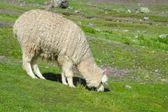 Lama on green grass meadow Royalty Free Stock Images