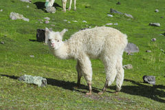 Lama on green grass meadow Stock Photo