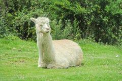 Lama on green grass. White lama on green grass Stock Image