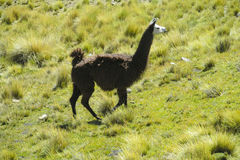 Lama on green meadow Royalty Free Stock Images