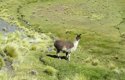 Lama on green meadow. Furry lama and alpaca on green meadow at the altiplano mountains in Peru and Bolivia Stock Photos
