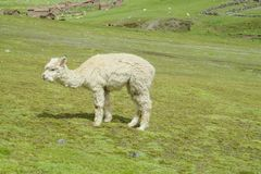 Lama on green meadow. Domestic cattle animal in South America Royalty Free Stock Photography