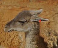 Lama, guanaco, Royalty-vrije Stock Fotografie