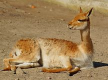 Lama, guanaco Royalty-vrije Stock Foto