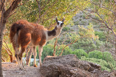Lama guanaco Royalty Free Stock Images