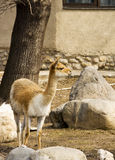Lama Guanaco Stock Photos