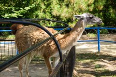 Lama guanaco Lama guanicoe. Guanaco is a mammal of the genus Lam of the family of camelid. Is the ancestor of the domesticated llama Royalty Free Stock Images