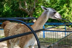 Lama guanaco Lama guanicoe. Guanaco is a mammal of the genus Lam of the family of camelid. Is the ancestor of the domesticated llama Stock Image