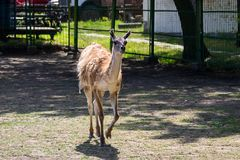 Lama guanaco Lama guanicoe. Guanaco is a mammal of the genus Lam of the family of camelid. Is the ancestor of the domesticated llama Stock Images