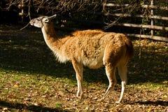 Lama guanaco Royalty Free Stock Photo