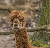 Lama guanicoe in Decin ZOO in winter Stock Image