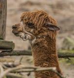 Lama guanicoe in Decin ZOO in winter Royalty Free Stock Image