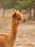Lama guanicoe - guanaco lama on farm Stock Photography