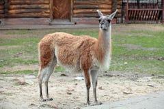 Lama. Guanicoe Guanaco in the open aviary of the zoo stock photography