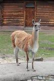Lama. Guanicoe Guanaco in the open aviary of the zoo Royalty Free Stock Photo