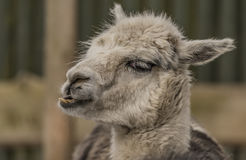Lama guanicoe in Liberec ZOO in winter Royalty Free Stock Photos